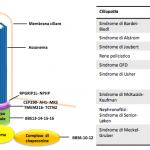 Figura 1. Schema del ciglio primario; principali ciliopatie descritte nell'uomo.