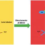 Figura 3. Traslocazione dell'Aquaporina 2 (AQP2) sulla membrana apicale indotta dalla Vasopressina (ADH), in condizioni basali e dopo silenziamento del gene BBS10 in un modello cellulare murino di dotto collettore.