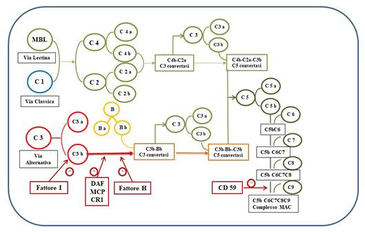Figura 2: Schema di attivazione delle tre vie del complemento con relativi meccanismi di regolazione
