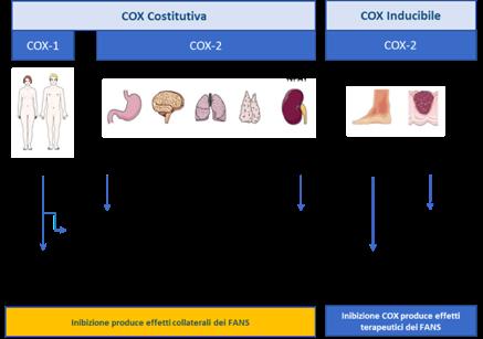 Enzima COX costitutivo e inducibile e principali siti di espressione.