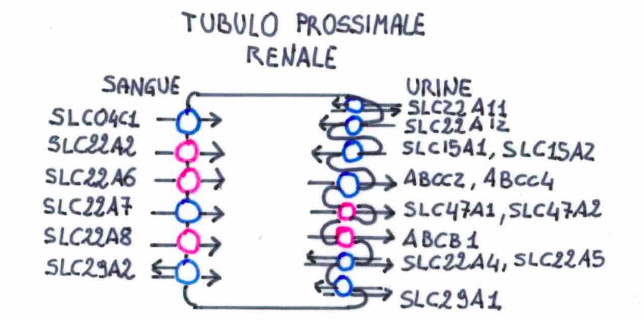 Fig. Trasportatori renali di importanza clinica [6].